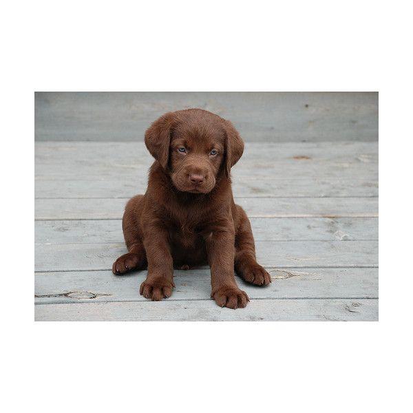 Wonderful Chocolate Brown Adorable Dog - 96f004ae368dabd65e5553fa28feedc7  Perfect Image Reference_22294  .jpg