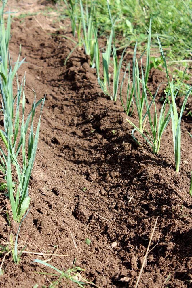 Poireaux Semis, culture et récolte au potager Plan
