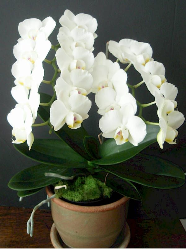 Phalaenopsis Amabilis Moth Orchid Growing Orchids Moth Orchid