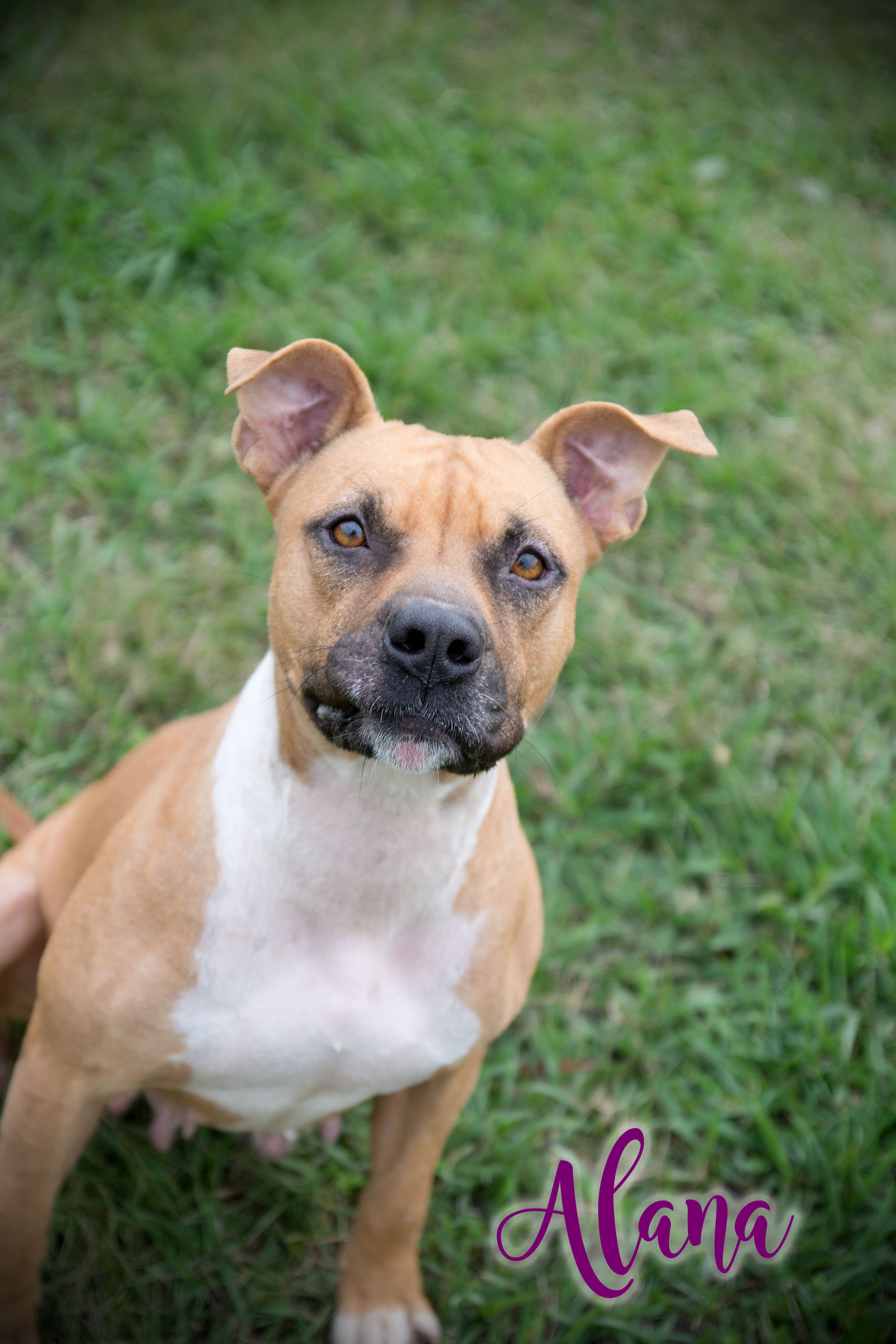 Bullboxer Pit Dog For Adoption In Livingston La Adn 430965 On
