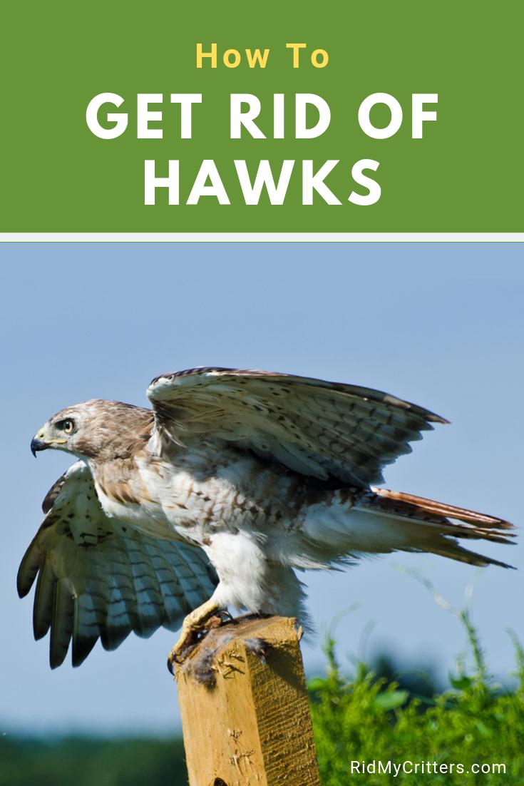96f0e4394582682015ad49e511094ddb - How To Get A Hawk Out Of A Building