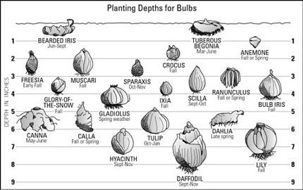 Planting Depths For Bulbs Via Portlandnursery Infographic Bulb Planting With Images Planting Bulbs Bulb Flowers