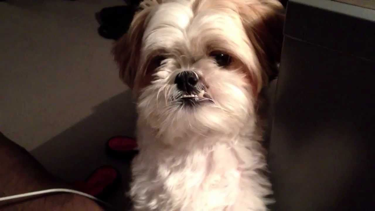 [Shih Tzu] 仔仔告訴我他要睡覺了 Doggie telling me it's bed time