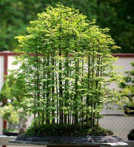 Bonsai West Beforeandafter Bonsai Forest Redwood Bonsai Bonsai Garden