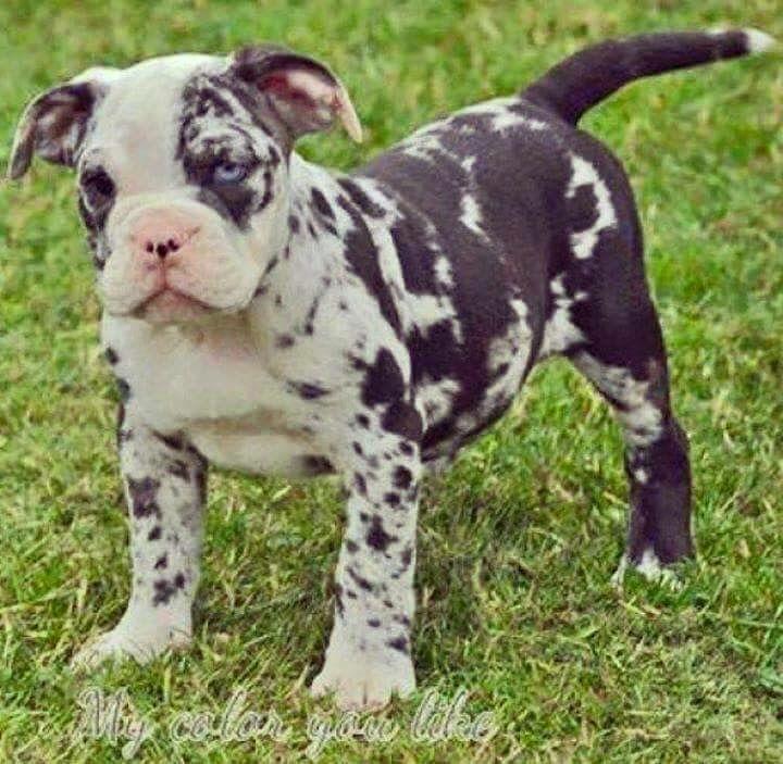 Pitbull Merle English Bulldog Puppies English Bulldog Bulldog