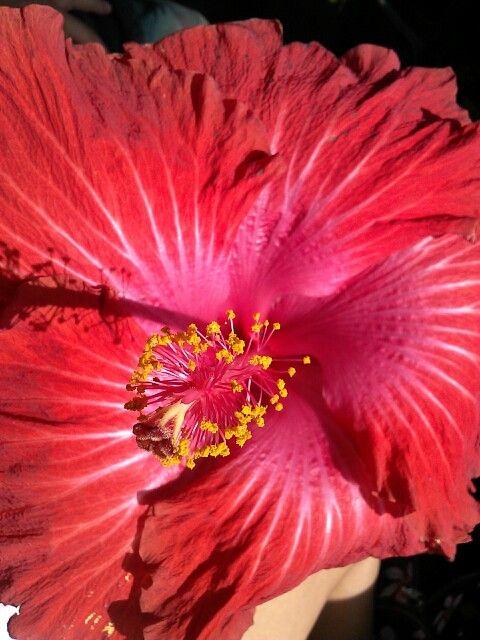 Maui hybiscus