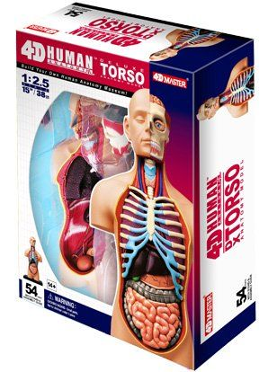 4d Vision Deluxe Human Anatomy Torso Model Fame Master Httpwww