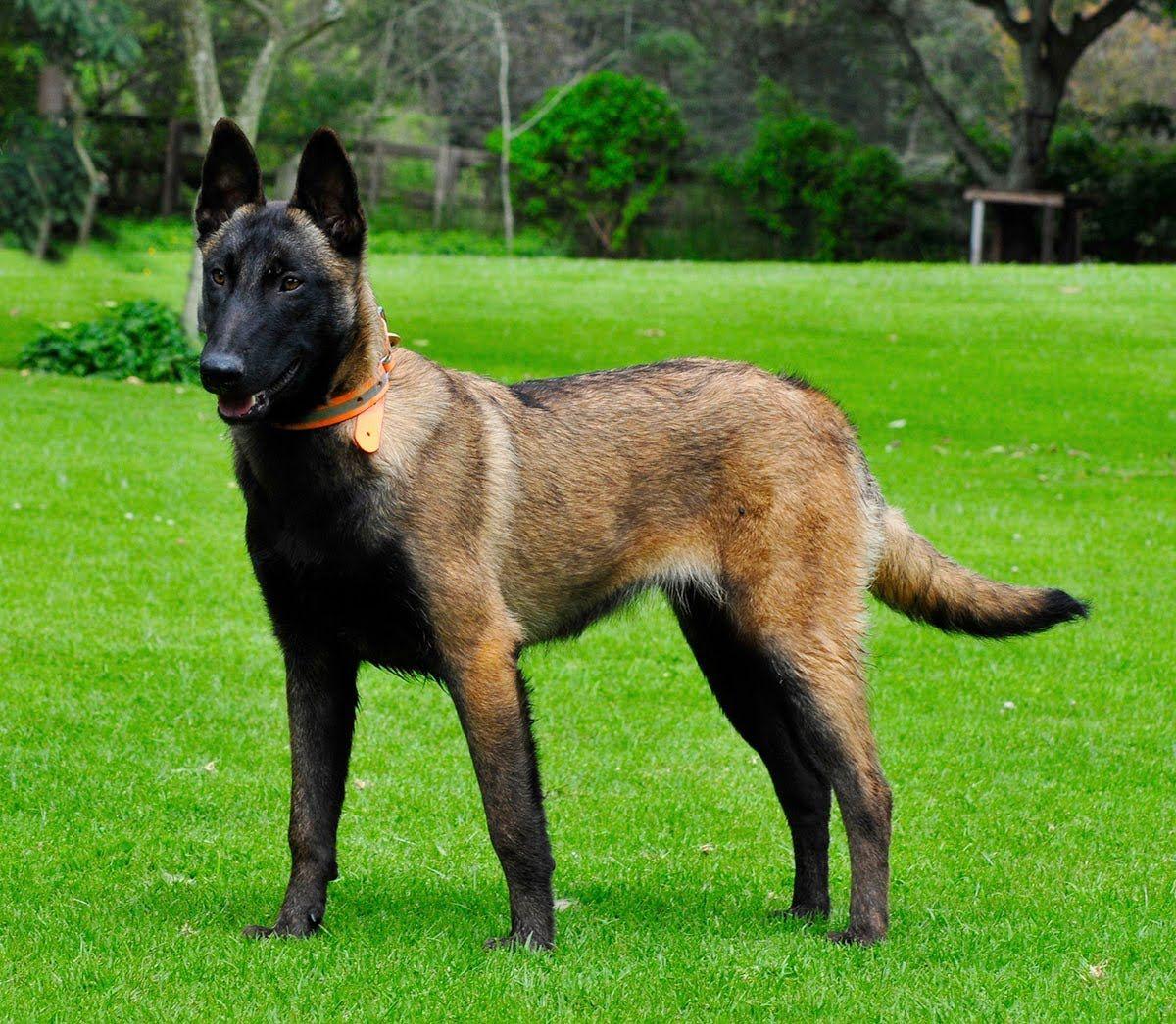 собака бельгийская овчарка малинуа