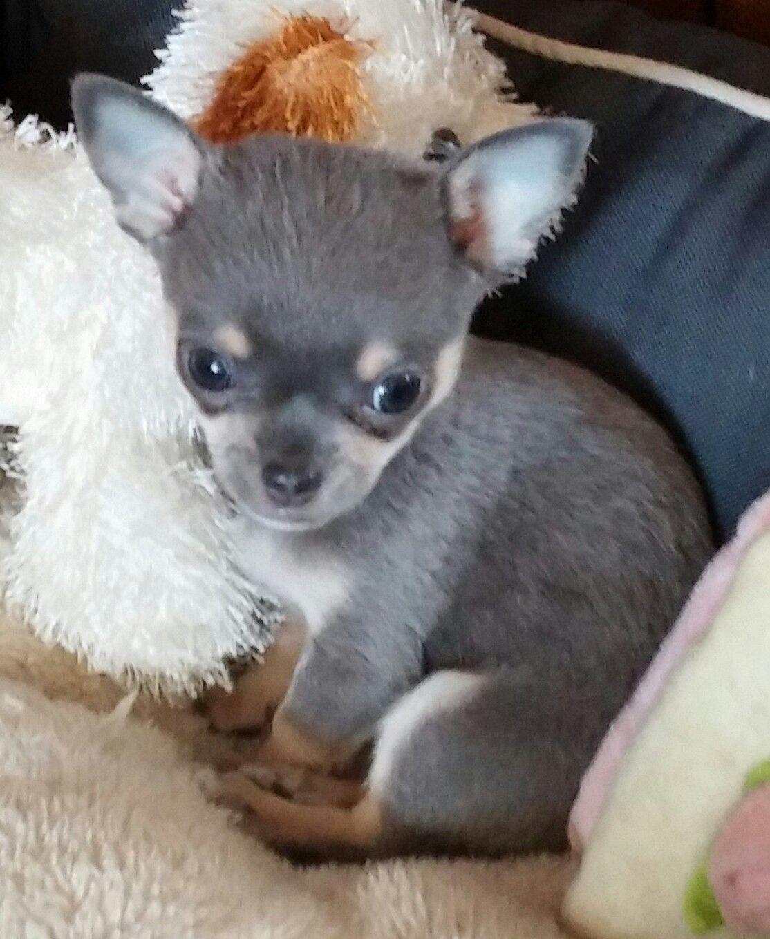 Blue tri colour chihuahua Chihuahua Chihuahua puppies