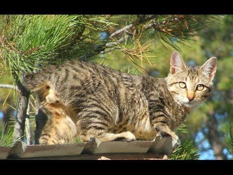 Animal Cats 101 American Bobtail YouTube