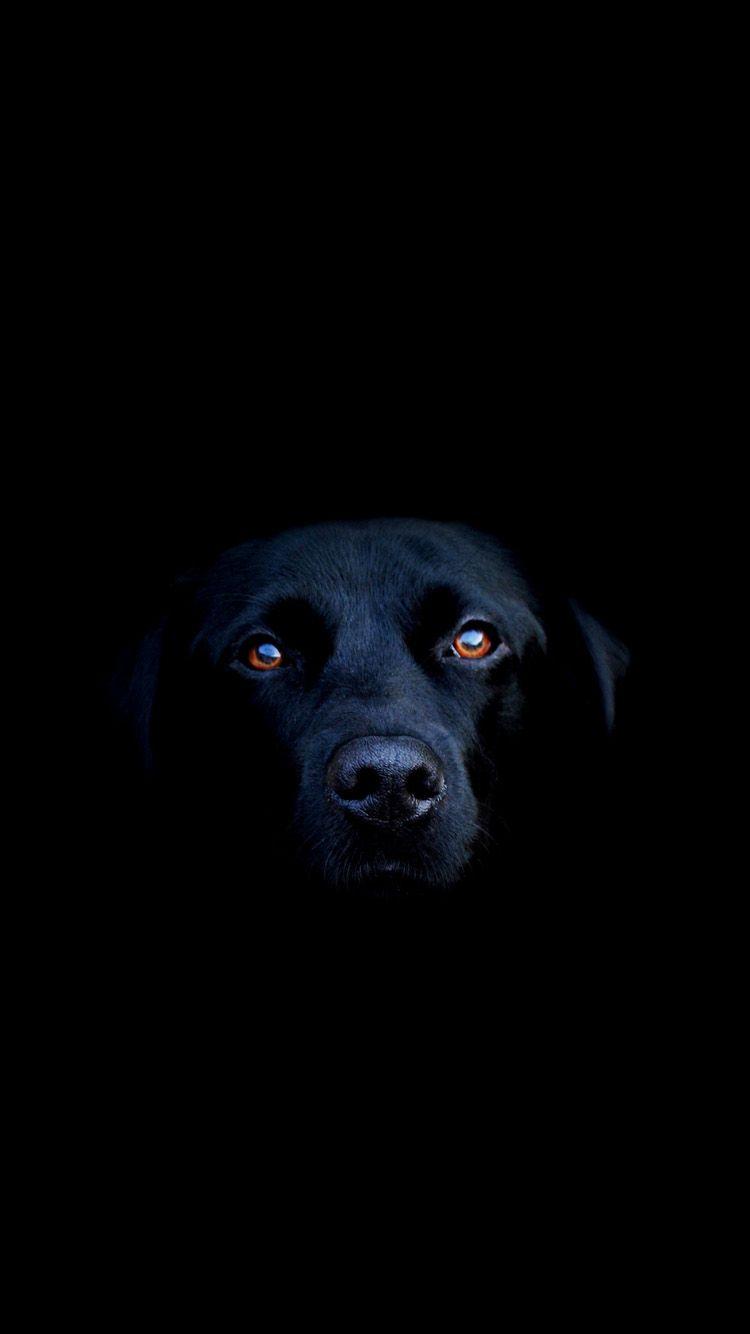 Iphone 6 Black Wallpaper Wide Dog Wallpaper Black Dog Labrador Retriever