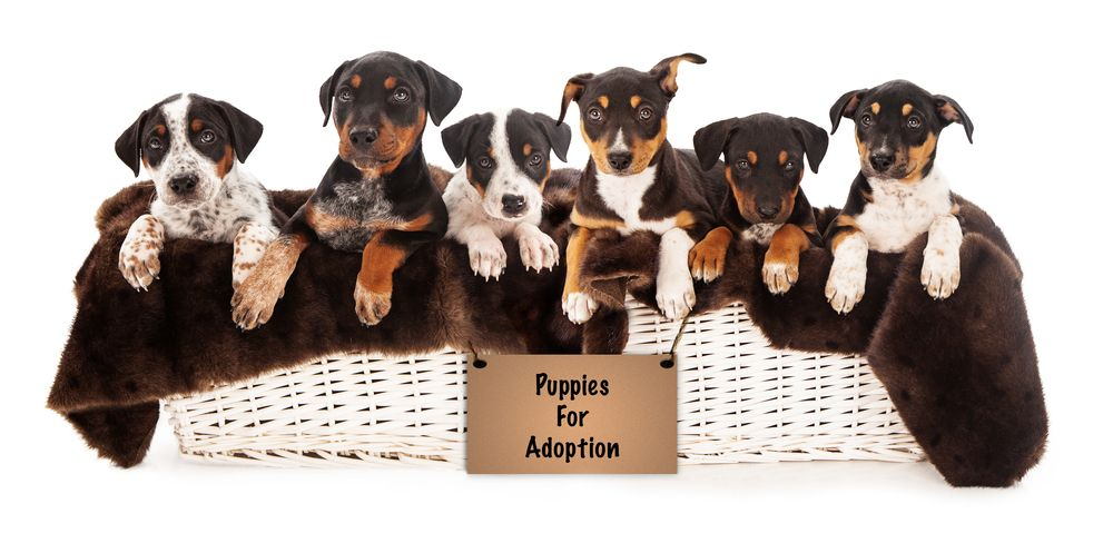 Puppies For Adoption Here At Vip Puppies We Make Finding Puppies For Adoption Easy From Small Little Yap Mixed Breed Puppies Where To Buy Puppies Buy Puppies