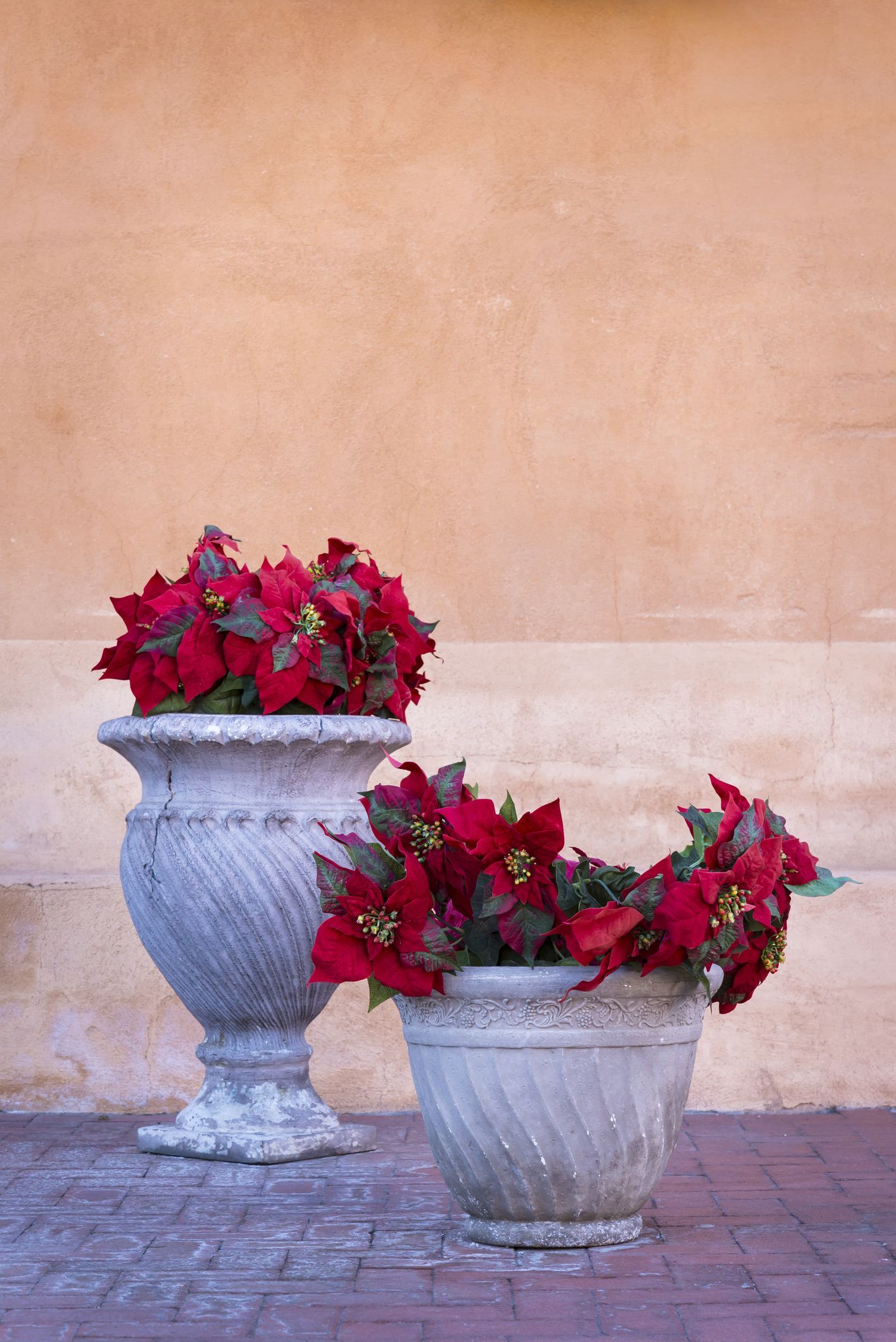 How to Grow Poinsettias So They'll Re-Bloom Next Christmas | Poinsettia plant, Planting flowers ...