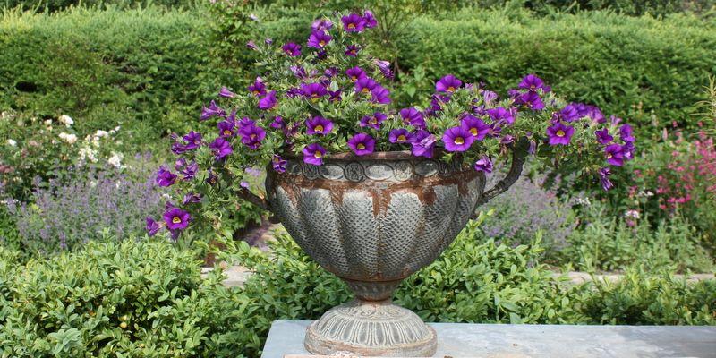 """Petunia fås efterhånden i mange forskellige slags - både hvad angår farve, størrelse, marmorering osv. Og det er faktisk en plante, der tåler usædvanlig meget varme uden at den """"klapper sammen"""". Her er det en minipetunia i en skøn, blålilla farve. TEKST: MARIANNE FOTO: LENE, LONE, KARINA"""