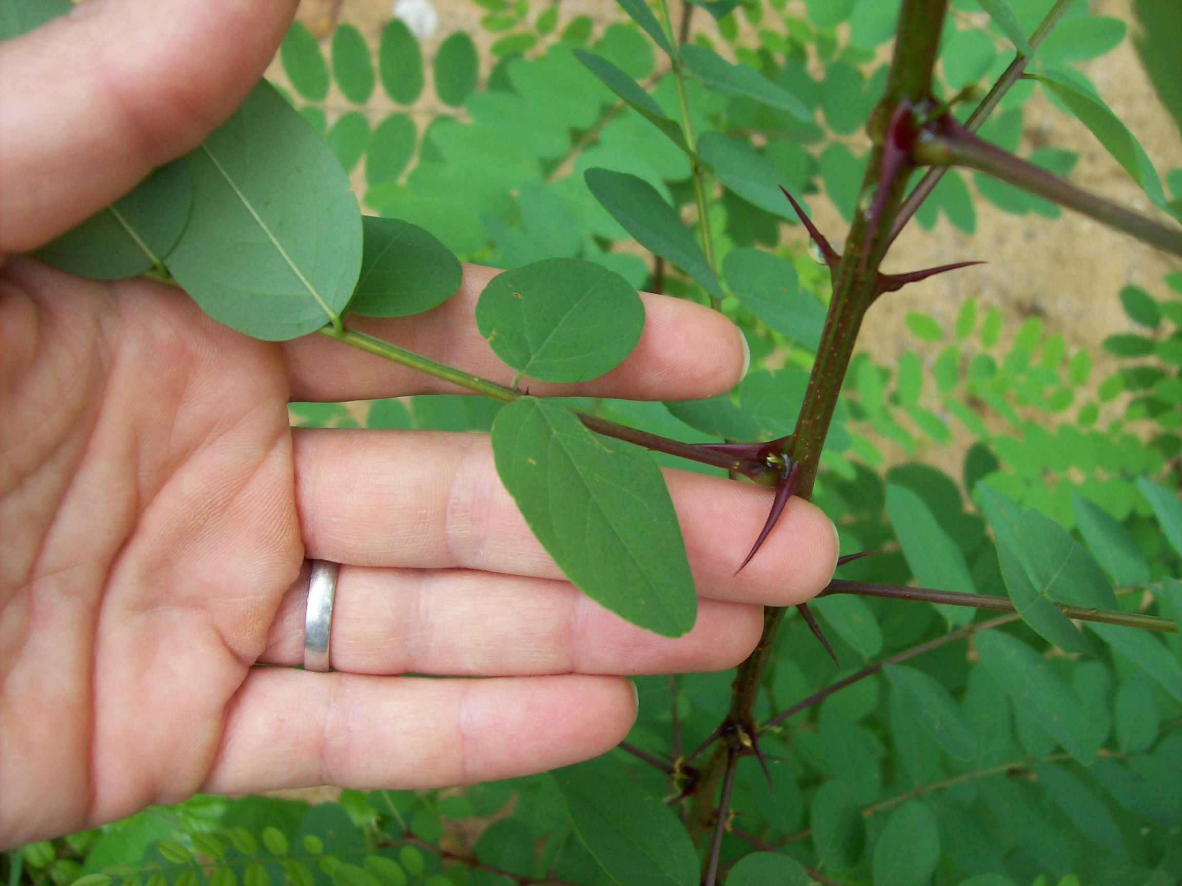 Honey Locust Honey Locust Plant Leaves Plant Identification