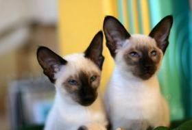 59 Egyptian Siamese Cat Names Lovetoknow Siamese Cats Siamese