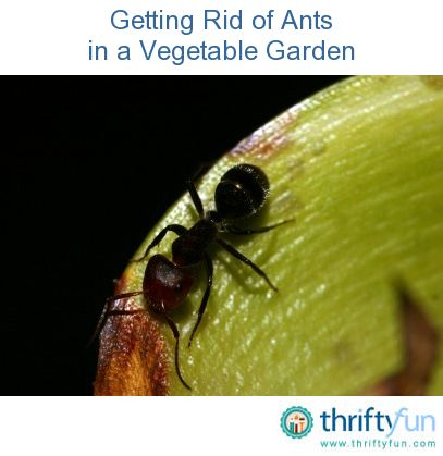 how to get rid of ants plants