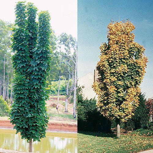 Acer platanoides 39 columnar 39 a very adaptable narrow for Small narrow trees for gardens