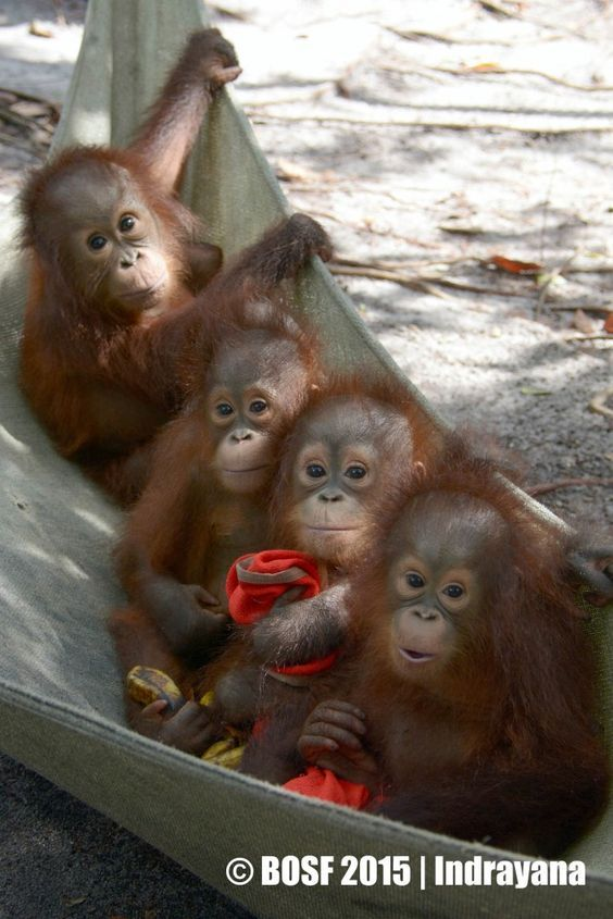 These beautiful orangutans are endangered like so many other precious species. ♥ ♥