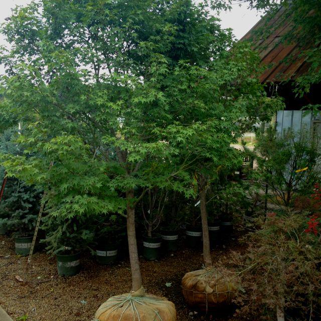 Huge specimen Japanese Maples.