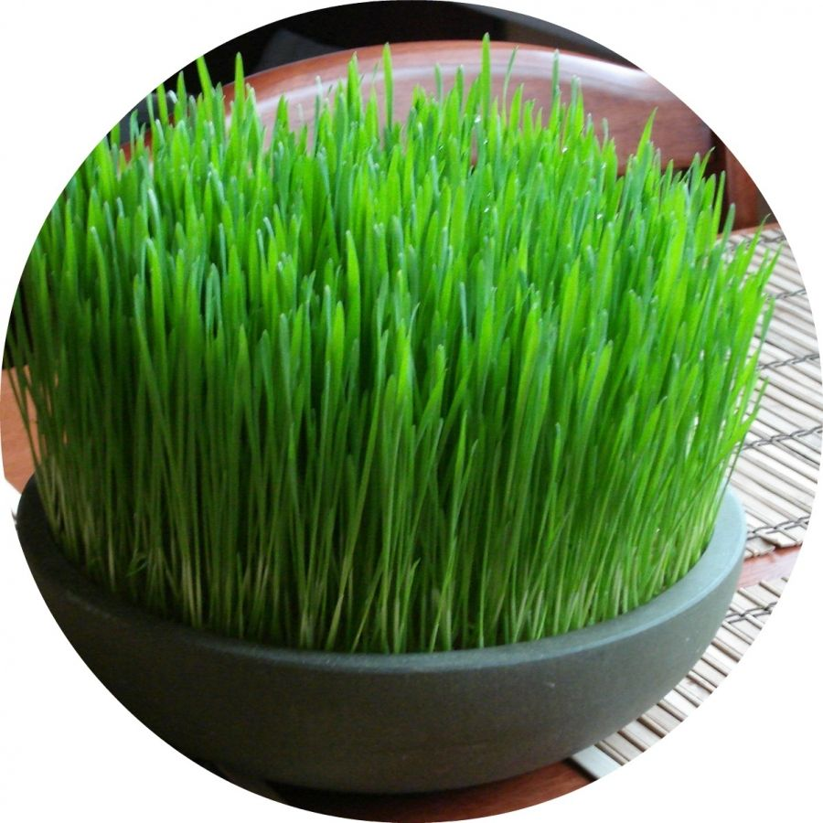 [Feline 101] CatSafe Grass and Herb Gardens for Spoiled