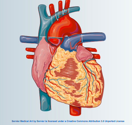 PowerPoint Slide kits: Servier Medical Art for Heart - Physiology ...