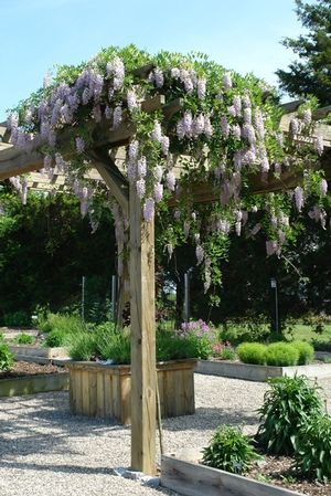 Variety That May Grown In Maine Wisteria Macrostachya