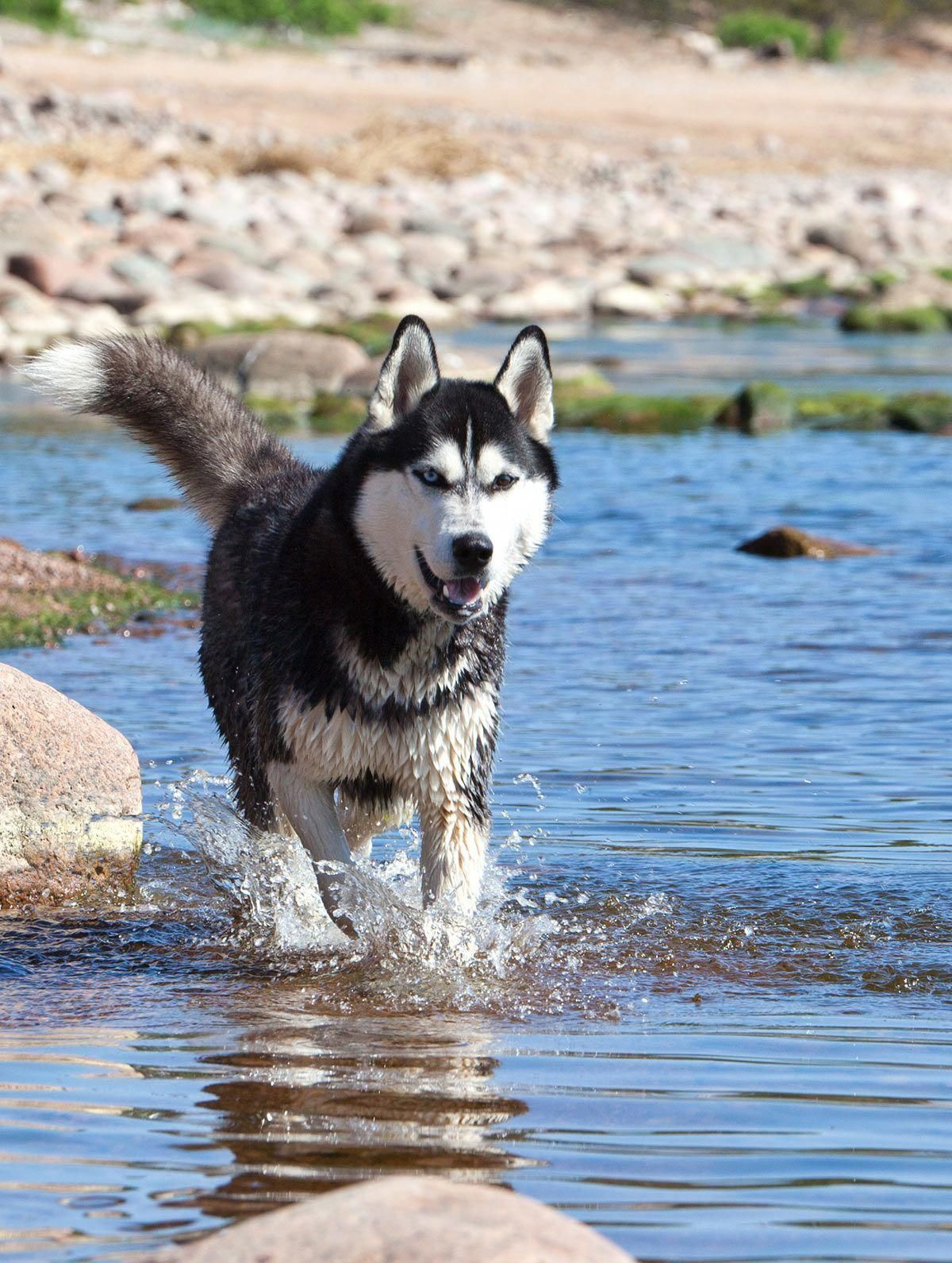 Everything About Siberian Huskies Puppies Exercise Needs