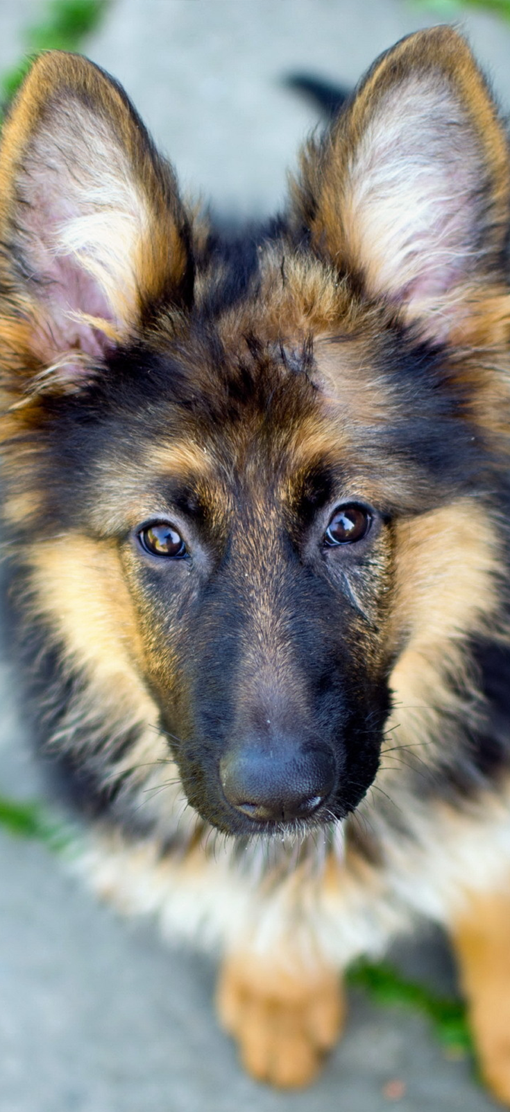 what you said...??? beauty german shepherd puppy More