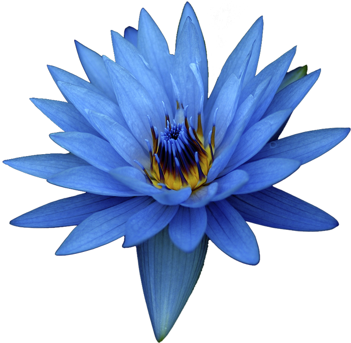 Itoldanotherlietodayy blue flower white background decorate itoldanotherlietodayy blue flower white background mightylinksfo