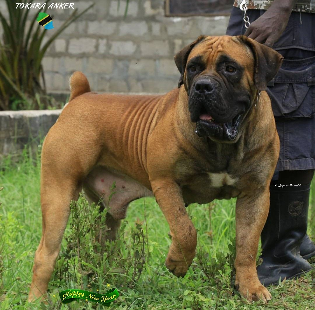 Tokara Anker 2 Years From Tanzania South African Boerboel