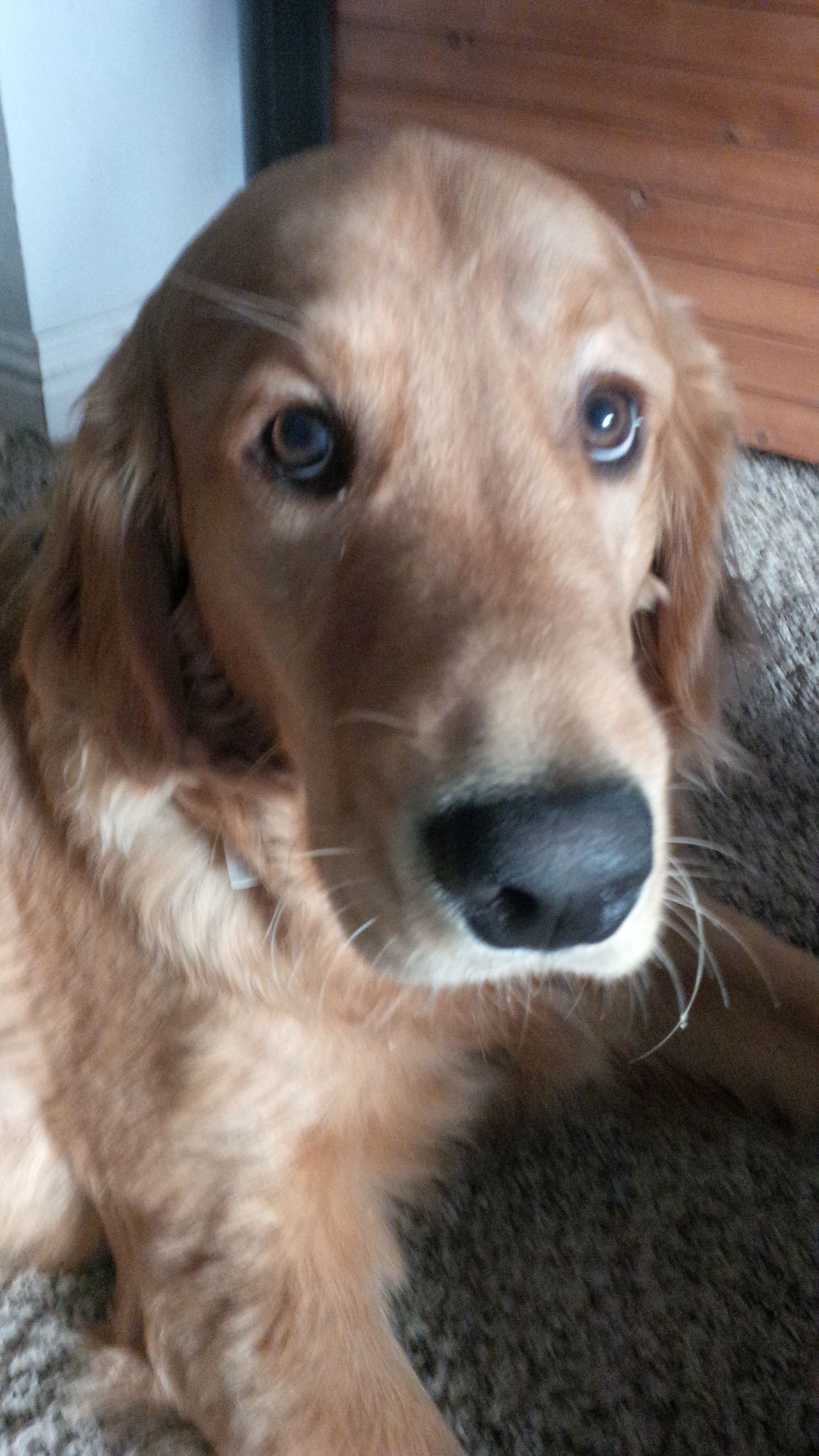 I Love Those Sad Puppy Dog Eyes Golden Love Dogs Puppies Dogs