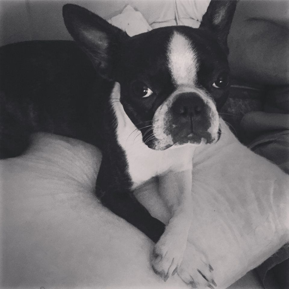 Pretty Boston Terrier Girl Named Chili From Brisbane Australia X