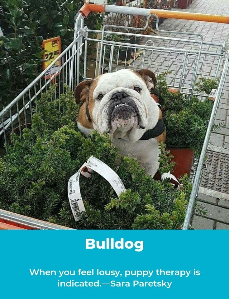 Bulldogstyle Bulldogsoftheworld Bulldogs Dogs Bulldog