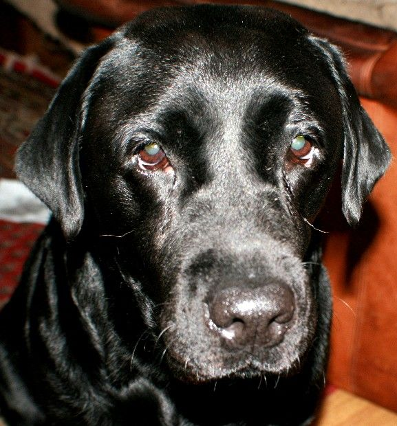 Labrador Welpen Aus Hobby Zucht Vdh Rlp Hessen Nrw Labrador Welpen Hunde