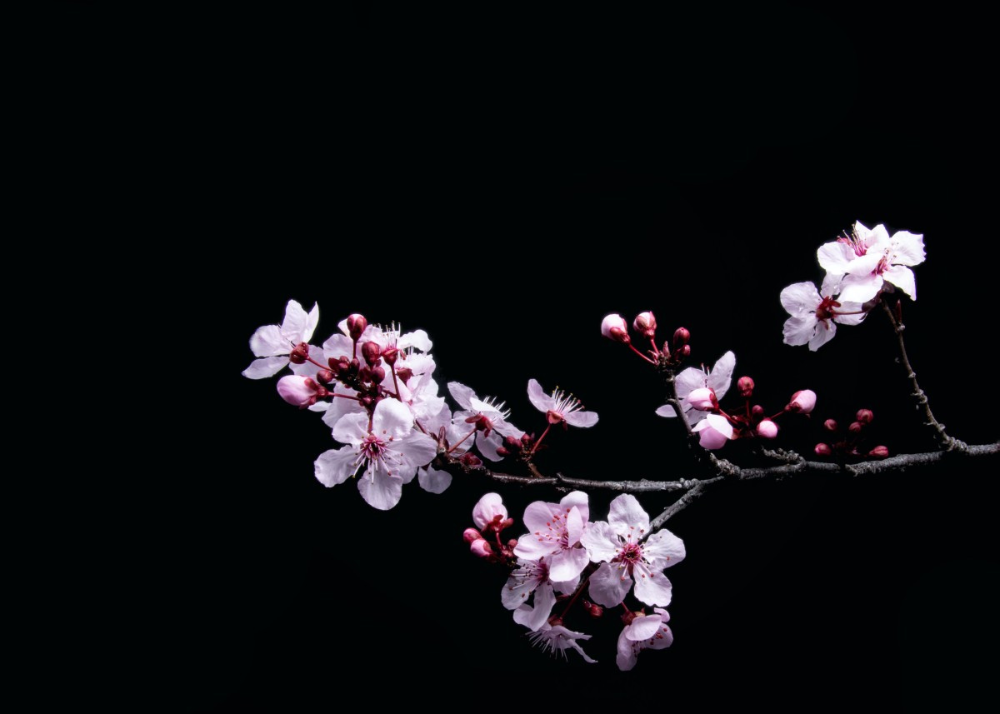 Cherry Blossom Branch Poster By Bear Amber Art Displate Cherry Blossom Art Cherry Blossom Wallpaper Flowers Black Background