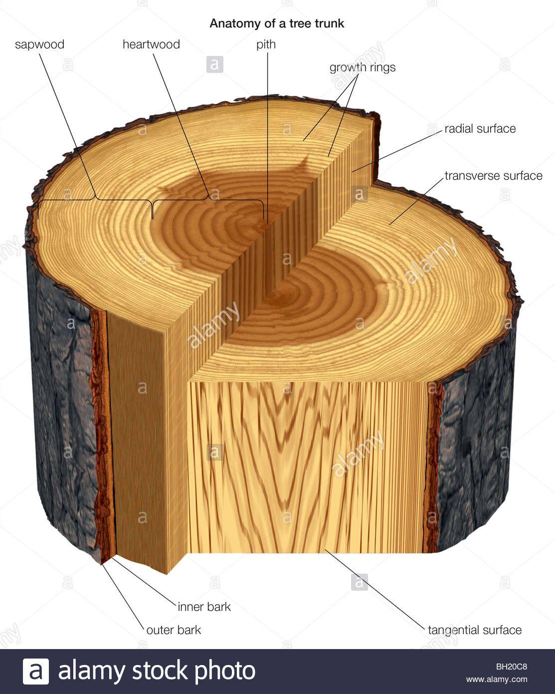Tree trunk sectional anatomy - www.anatomynote.com | Anatomy note ...