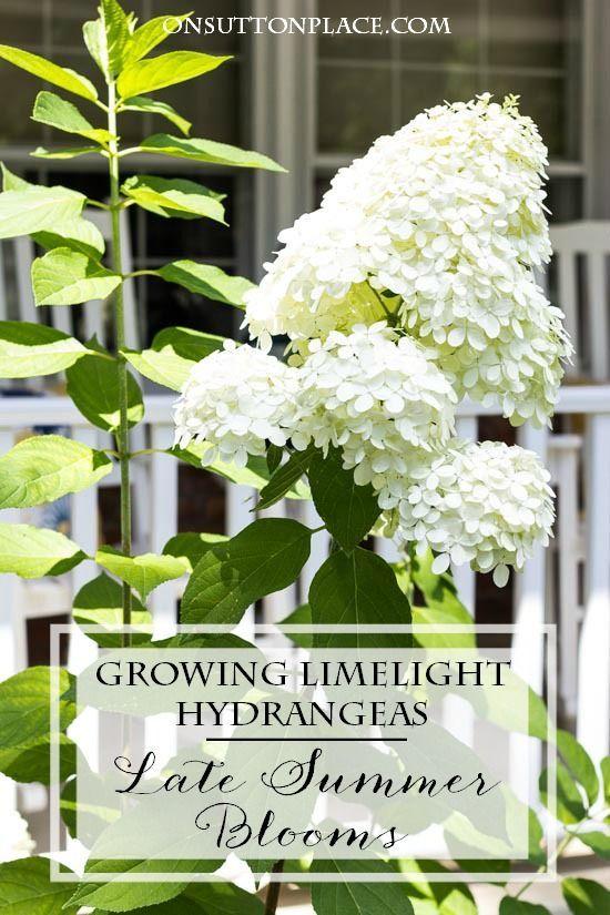 Growing Limelight Hydrangeas | Late Summer - On Su