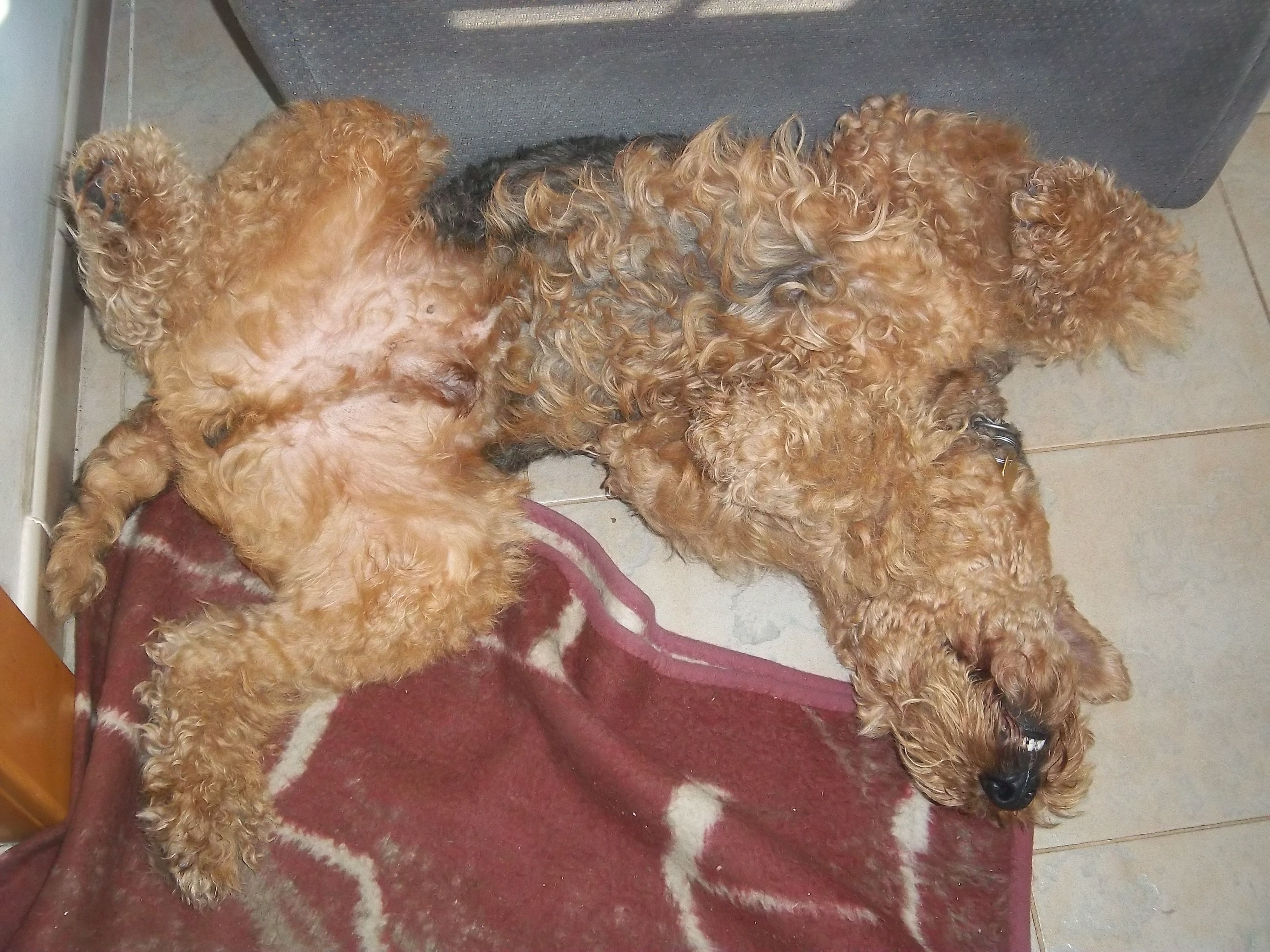 Have you ever seen an Airedale Terrier taking a nap? Well, it pretty much always ends up like this :D #airedaleterrier #airedale #terrier #dogs #pets #buddies