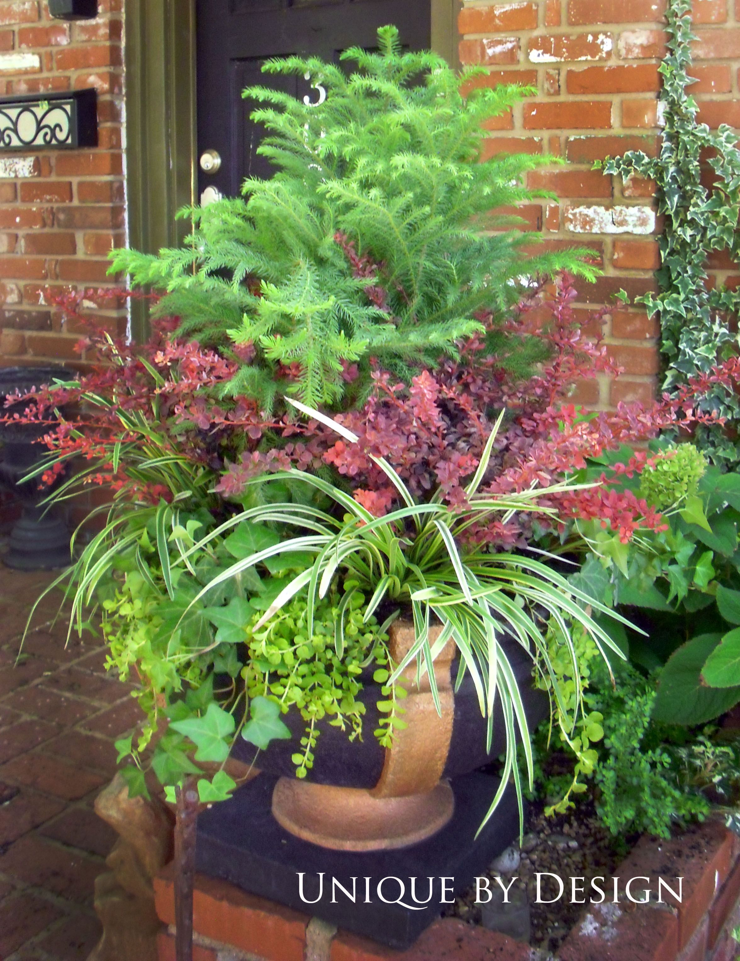 Easy Fall container... Norfolk pine, barberry, liriope and ...