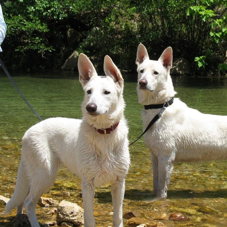 Deuce And Meadow At Sinking Creek Gunther White German Shepherds