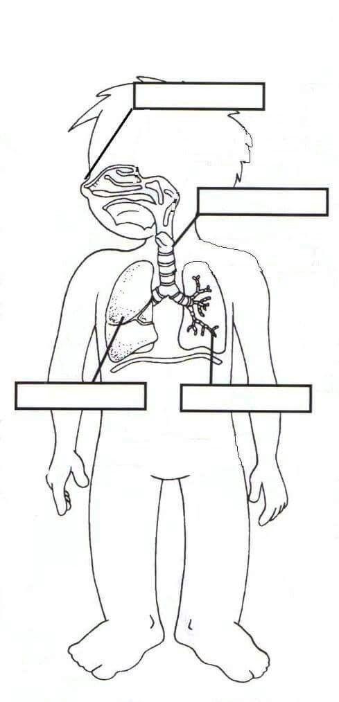 Apparato respiratorio | Cuerpo humano | Pinterest | Cuerpo humano ...