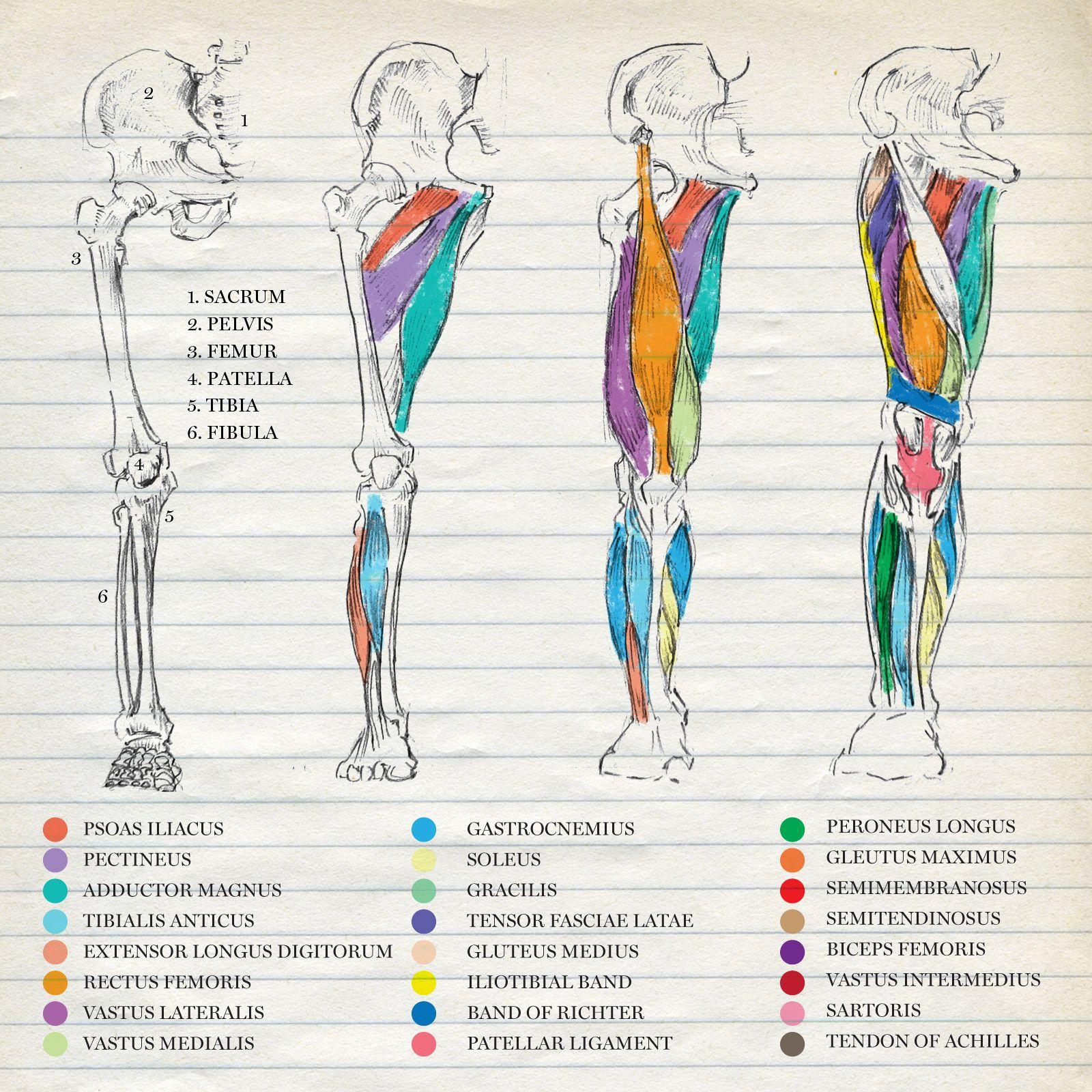 Músculos miembro inferior | Notes | Pinterest | Miembro, Músculos y ...