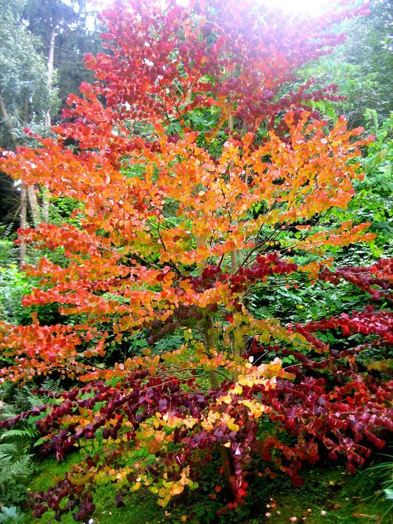 Kuchenbaum kannte ich noch nicht pflanzen garten garten ideen und baum - Lebkuchenbaum kaufen ...