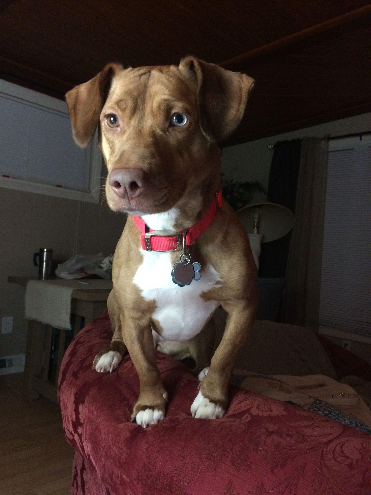 Pitbull Dachshund Named Lucy Adopt Don T Shop Pitbulls