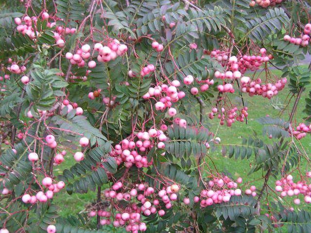 baumschule eggert bl tenstr ucher baumschulen heckenpflanzen sorbus vilmorinii rosa frucht. Black Bedroom Furniture Sets. Home Design Ideas