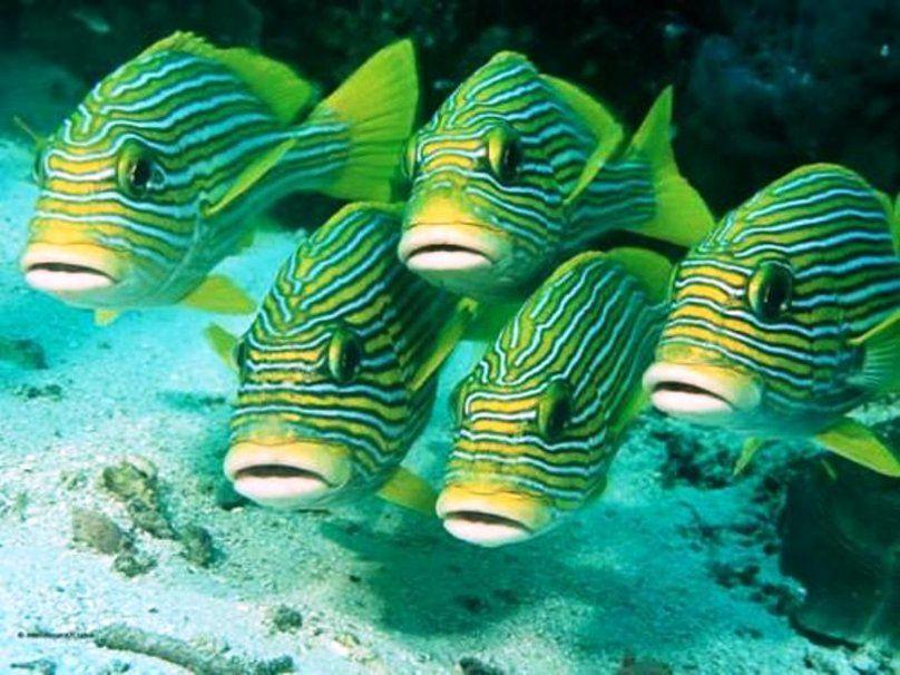 peces tropicales de rayas verde wallpaper | peces | Pinterest ...