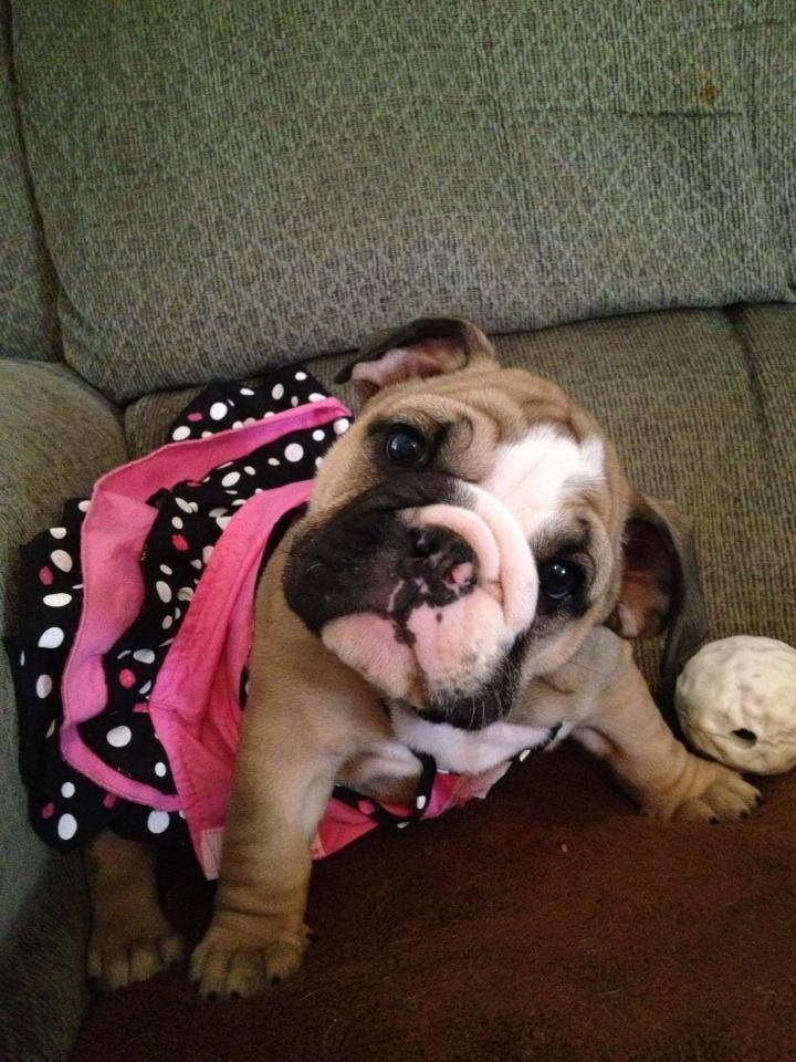 She S Saying Take Me To Texas To Sharon S Pets Bulldog Puppies