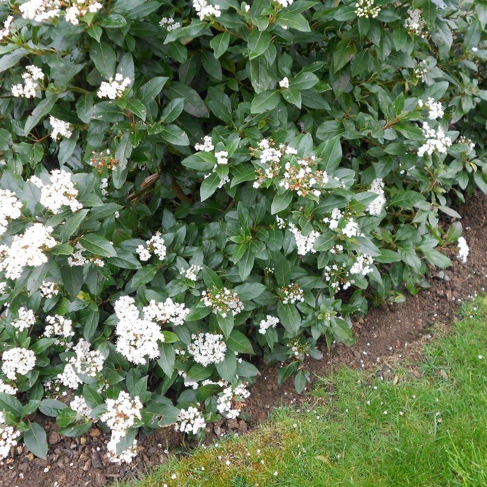Viburnum tinus hedge plants Hedging plants, Garden