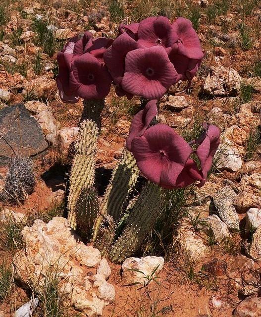 Hoodia Gordonii Cactus Cactus And Succulents Cactus Flowers